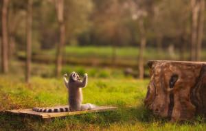 funny animal picture, funny lemur picture, lemur picture, manly lemur ...