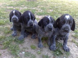 Pachon Navarro split-nose pups