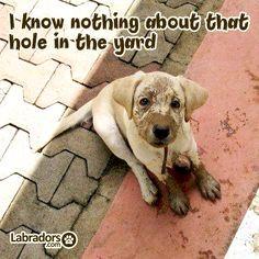 Labradors.com cute #puppy yellow labrador More