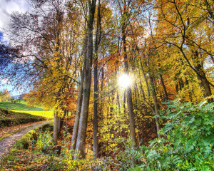 Sun Through The Forest Trees