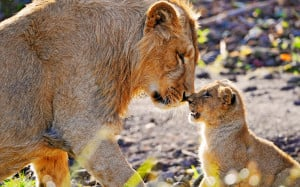 15 Pictures – Lions