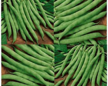 20 x Organic BLUE LAKE Bean seeds ~ LONG Term Producer Bush Bean ...