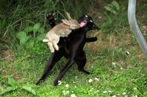 Rabbit Attacks Cat