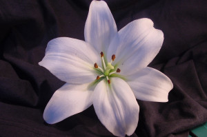 87725d1322540729-lily-flowers-lily-flowers-photo.jpg