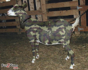 Army Goat Funny Photo
