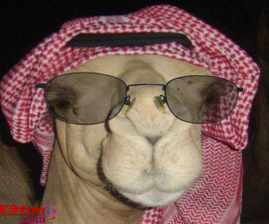 Camel Wearing Arabic Dress Style Funny Picture