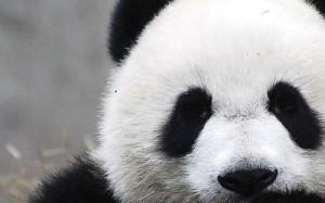 aaaww, bear, cute, face, panda