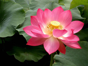 Facts about Lotus Flowers