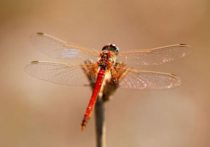 Dragonflies: Poetry & Quotes That Honor Their Mystery & Beauty