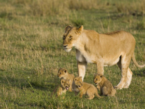 African Lion Cubs with Mother