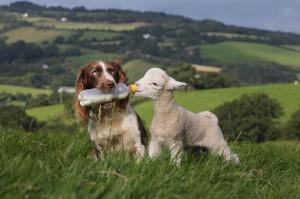 Funny Blind Farmer Clever Sheep Dog Joke