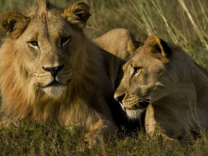 male and female lions together