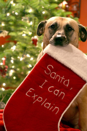 animal, christmas, dog, haha, holiday, santa, sock, winter