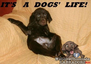 Labradors really do know how to make the most of luxury when given the ...