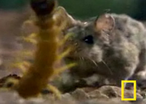 Big Centipede Vs. Mother Grasshopper Mouse- Who wins with its kung fu?