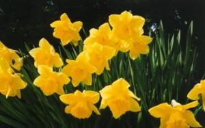 daffodils easter daffodils sunny daffodil flowers and easter daffodils ...