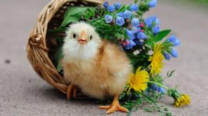 ... 1920x1080 Flowers, Birds, Baskets, Chicks, Chickens, Baby, Birds