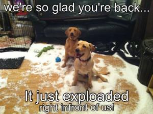funny labradors