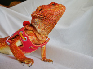 Bearded dragon harness