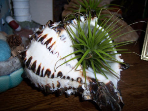 Seashell Planters With Air