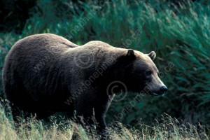 BEARS BRITISH BRITISH COLUMBIA COLUMBIA CORDILLERA GRIZZLY BEAR
