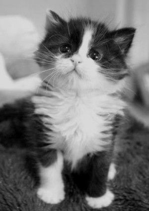 baby, cat, cute, little, rawr, swag