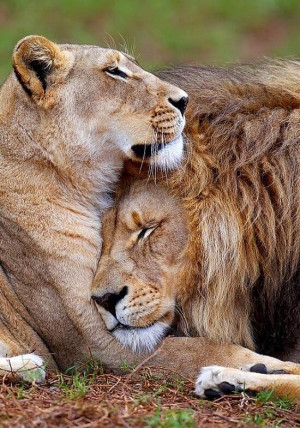 Lion and lioness (Source: Tumblr)