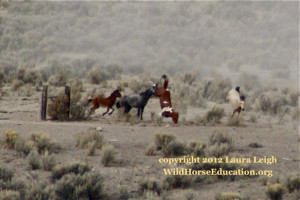 Wild horse being chased through barbed wire fencing during a roundup ...