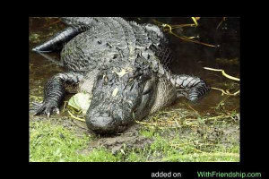 Florida American Alligator
