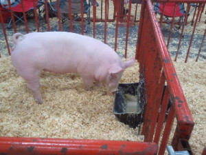 ... oats, powdered milk and specially created pellets for show pigs