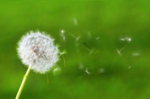 dandelion-blowing-wonder.jpg