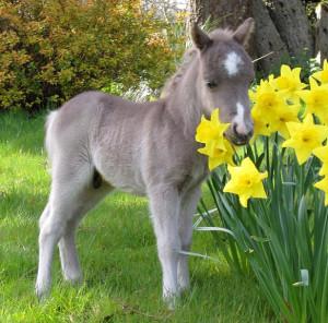 Fohlen im Frühlingsglück