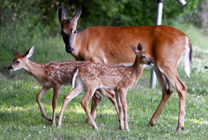 Good Luck Deer Hunting Quotes A mother deer and her two