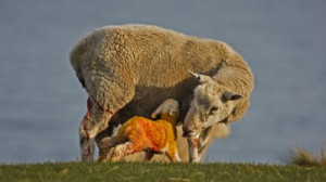 mother sheep and baby jpg