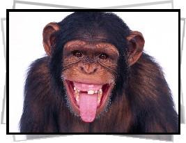 Funny Monkey, Monkey