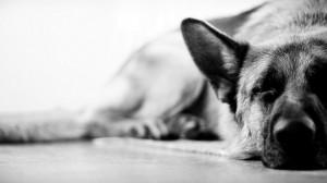 Wallpaper: German Shepherd 1080p