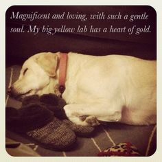 big Yellow lab..... Nothing loves you like a yellow lab. -I love ...