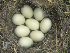 Eight Mallard Eggs in the Nest Anas Platyrhynchos North America