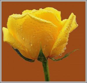 30+ Beautiful World @ Yellow (Roses) (22)