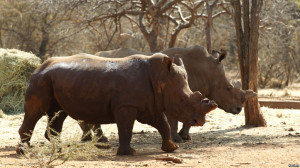 South Africa Rhino Poaching Spikes in 2013