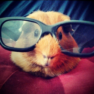 hamster wearing sunglasses, funny photo