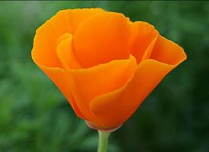 California State Flower - Poppy: California States Flowers, Flowers ...