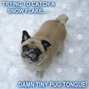 funny pugs Pug Catching Snow Flakes