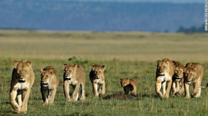 pride of lions on the move. Food is shared out hierarchically within ...