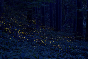 gold this firefly emit light very short time so in the picture light ...