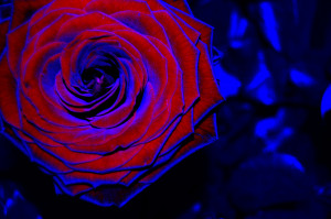 You Know Love Blue Quote Red Rose