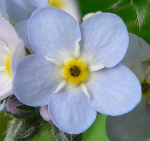 Description Forgetmenotflower.JPG