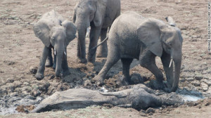 Despite efforts from their herd to help, the pair were unable to free ...
