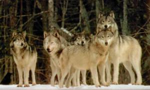 home s sabaton wolfpack lyrics the wolfpack lurks awaiting you to ...