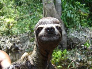 Simon the Sloth gets a job as a Jim Carey look-a-like.